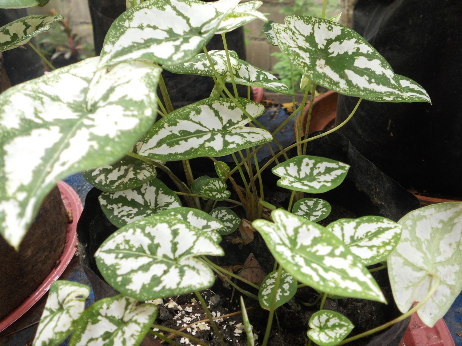 Tropical plants with stripes and blends of green and white be green and white caladium mightylinksfo